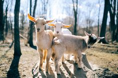 Celebrity Goat Retreat: Goats Of Anarchy