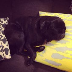 This pug requires two pillows - one for the head, one for the butt.
