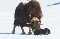 Musk ox calf born on 4/14/13 at the Alaska Wildlife Conservation Center