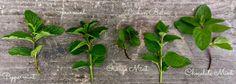 different varieties of mints: chocolate mint, orange mint, spearmint, grapefruit mint, mojito mint and lemon balm.