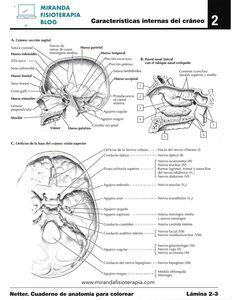 Para colorear características internas del cráneo | Miranda Fisioterapia blog Heart Anatomy, Human Heart, Survival Skills, Carrera, Blog, Physical Therapy, Med School, Notebooks, Teaching Resources