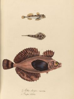 Cottus claviger + Perropus bilobus - 1839 - The zoology of Captain Beechey's voyage / compiled from the collections and notes made by Captain Beechey^, the officers and naturalist of the expedition, during a voyage to the Pacific and Behring's Straits performed in His Majesty's ship Blossom, under the command of Captain F. W. Beechey ...