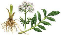 Valeriaanwortel - valeriana officinalis
