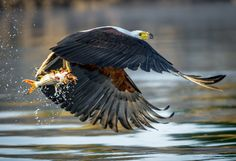 African Fish Eagle catching a tigerfish