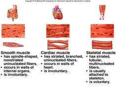 Type Of Muscle Tissue type of muscle tissue musculoskeletal systemtype of muscle tissue muscular systemtype of muscle tissue muscle tissuetype of muscle tissue types of muscle t Human Body Anatomy, Human Anatomy And Physiology, Muscle Anatomy, Tissue Biology, Types Of Muscles, Tissue Types, Musculoskeletal System, Human Body Systems, Muscular System