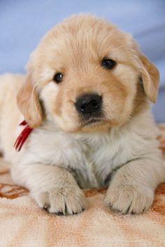子犬の紹介:ゴールデンレトリバー ゴールドの女の子