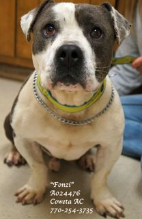 Help PLEASE  #GEORGIA #URGENT :: Euth Date 5/22/13 ::: ~ Fonzi ID A024476 is a HW+ Staffordshire Terrier mix #adoptable in #Newnan - He was such a good boy when we took him out to get to know him. He's very quiet, laid back & easy going.  This fella wants to please & looks to you for safety & love. How can anyone resist that sad face? Poor fella  DESPARATELY needs a loving family or a receiving #rescue! Can U help him ?COWETA COUNTY ANIMAL SHELTER   91 Selt Rd   #Newnan GA 30263   P…