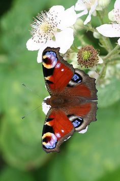 Pristine Peacock sups from the withe flowers of blackberry    by Mark Mansfield