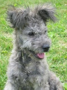 Pumi The Pumi's trademark is its ears, which make it appear always alert and very lively. The ears are high-set, the tip flops down and they are covered with longer hair than the rest of the body.