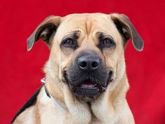 4826550 My name is Pelusa. I am a friendly 1 yr old female Shepherd mix. My owner left me here on May 5. available now.  please contact the shelter directly to find out its availability. NOTE: Pit bulls are not kept as long as others so those dogs are always urgent!!  Baldwin Park shelter