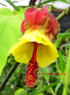 Chinese Lantern (Abutilon megapotamicum) I have grown this at every house I've lived at for the past 20 years and it always stops traffic.