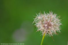 Solitary dandelion by Stefano Costanzo on 500px