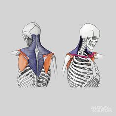 AnatoRef | Anatomy of the Back Top Image Row 2: Left (by Josh...