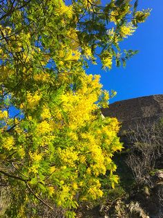 Mimosen: Frühlingsgefühle im Winter