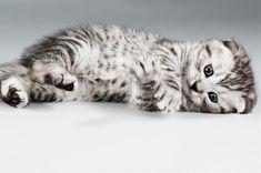 Stock image of 'fluffy gray beautiful kitten, breed scottish-fold,' Cute Kittens, Cute Little Kittens, Beautiful Kittens, Cats And Kittens, Scottish Fold Kittens, Kitten Breeds, Cat Anatomy, Grey Kitten, Stock Image