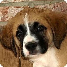 Waterloo, IL - Great Pyrenees/Boxer Mix. Meet Kasey, a puppy for adoption. http://www.adoptapet.com/pet/13194847-waterloo-illinois-great-pyrenees-mix