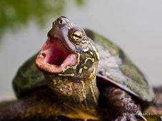 Chinese Pond Turtle by rosalyn