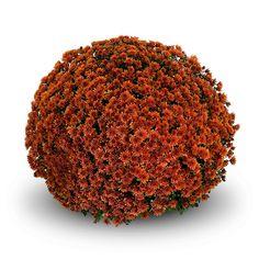 Beautiful orange/bronze flowers make Belgian Mum® Ilvico Orange a perfect choice for the fall. Garden Mum, Fall Arrangements, Chrysanthemum, Autumn Inspiration, Flower Making, Wild Flowers, Orange, Beautiful, Food
