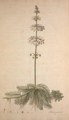 - Flora Londinensis, or, Plates and descriptions of such plants as grow wild in the environs of London : - Biodiversity Heritage Library Botanical Illustration, Botanical Prints, Water Violet, Book Letters, Natural Curiosities, Vintage Flowers, Botany, Drawings, Floral