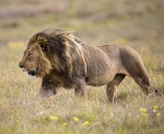 Superb Nature - beautiful-wildlife: Strength by Chris Petersen Lion Pictures, Animal Pictures, Gir Forest, Animals Beautiful, Beautiful Cats, Lion Sketch, Lions Photos, Lion And Lioness, Animals And Pets