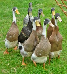 Indian Runner Ducks, Wolsingham Show | Flickr - Photo Sharing!