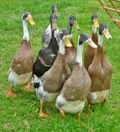 Indian Runner Ducks, Wolsingham Show | Flickr - Photo Sharing!