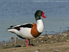 Domestic Duck Breeds - Google Search