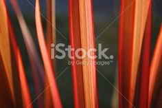 Sunlit Harakeke Leaves (NZ Flax) Royalty Free Stock Photo Image Now, Nature Photos, Floral Backgrounds, Royalty Free Stock Photos, Leaves, Twitter Headers, Beautiful, Beauty, Pink