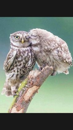 Beautiful Owl, Animals Beautiful, Cute Animals, Farm Animals, Owl Pictures, Nature Pictures, Owl Illustration, Owl Eyes, Wild Creatures