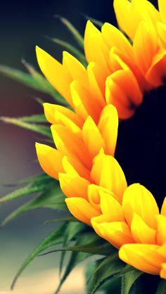 Sunflowers -iPhone5 Wallpaper