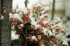 Snow resting on flowers