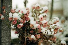 Snow resting on flowers