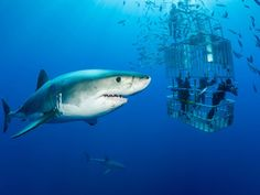 For the ultimate thrill, venture into the waters surrounding the volcanic isle of Guadalupe, home to a large population of great white sharks. Many dive shops offer cage diving shark encounters for a truly up close and personal experience with these massive aquatic predators.