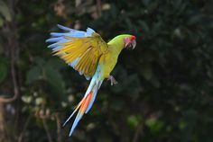 A green macaw flies in the mountains near Manzanillo Beach, about 170 miles east of San Jose, Costa Rica.