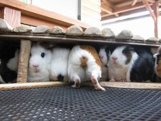 Whenever we let the guinea pigs run around, this happens once they've had enough outdoor time.