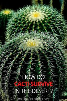 Find out about the amazing adaptations that keep cacti alive and thriving in the harshest of environments. These wonderful succulents are the ultimate survivors. Cacti, Cactus Plants, Easy Care Indoor Plants, How To Grow Cactus, Storing Water, Cactus Care, Desert Environment, Cactus Types, Smart Garden