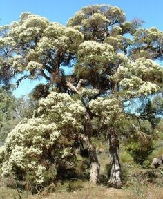 Modong is Perth's largest paperbark. Older specimens — often irregular in shape, with thick, meandering branches — are wonderfully picturesque. Melaleuca, Perth, Branches, Country Roads, Shape, Grey, Plants, Pictures, Gray