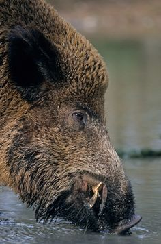 A wild boar takes a sip Wild Boar Hunting, Hunting Art, Nature Animals, Woodland Animals, Animals And Pets, Bird Pictures, Animal Pictures, Feral Pig, Hog Pig