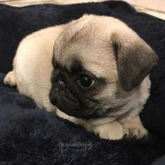 Like and share!    Welcome to Passionforpugs.com    #puglove #puppy  #dogs