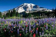 Wildflower Meadow in Mt. Rainier National Park, Washington