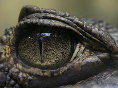 A crocodile's eye...  -  amazingdata.com