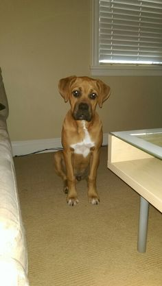 Captain Axel - my five month old boxer ridgeback....a whopping 40lbs