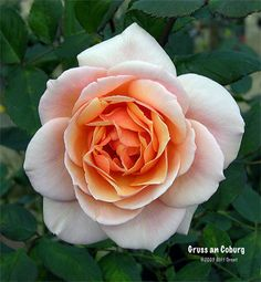 'Gruss an Coburg' Rose Photo