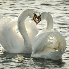 Love is in the water :) Valentijn Knobbelzwanen Foto: Hermen van Laar Beautiful Swan, Beautiful Birds, Beautiful Images, Animals Beautiful, Animals And Pets, Baby Animals, Cute Animals, Swans, Cygnus Olor