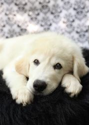 *Sigh*, I sure wish I had a home. Manitoba Great Pyrenees Rescue, Canada.