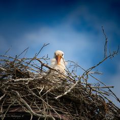 #stork #nesting #guardian #birds Stork, Photo S, Birds, Art Prints, Gallery, Animals, Art Impressions, Animales, Roof Rack