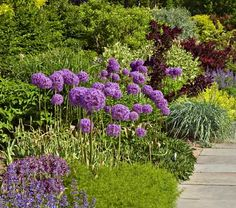 Allium Globemaster - White Flower Farm. I know I said I didn't like purple but I love allium globe masters. They are in gardens by my work and would love to incorporate