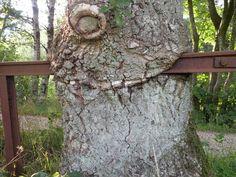 Image of 'tree eating iron fence'