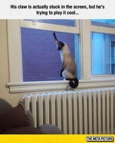 Just Play It Cool Cat memes - kitty cat humor funny joke gato chat captions feline laugh photo