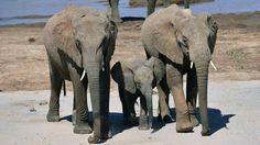 Zimbabwe elephants killed by cyanide